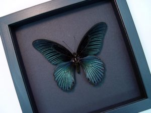 Papilio Memnon Great Mormon Black Butterfly Moonlight Display ooak