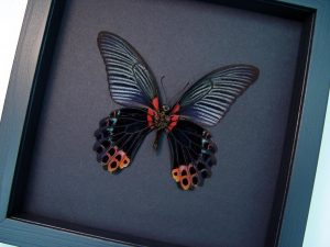 Papilio Memnon verso Great Mormon Black Butterfly Moonlight Display ooak