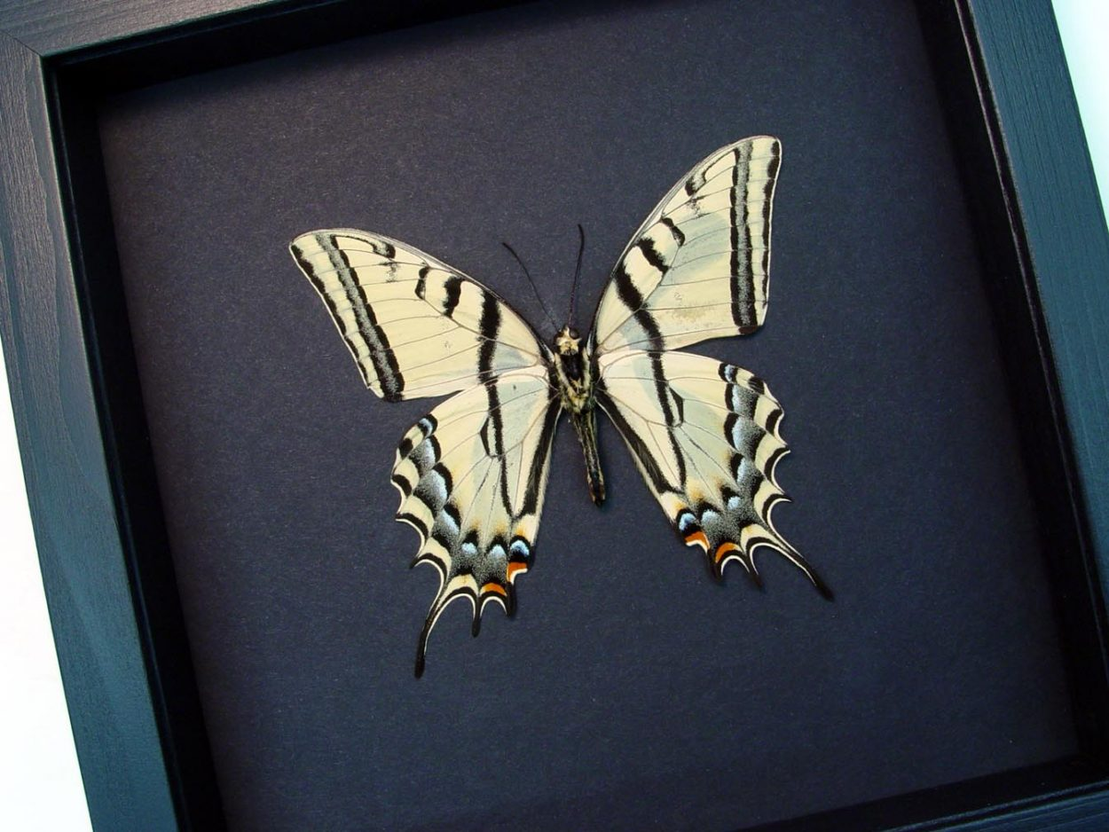 Papilio Multicaudata verso Two Tailed Swallowtail Moonlight Display ooak