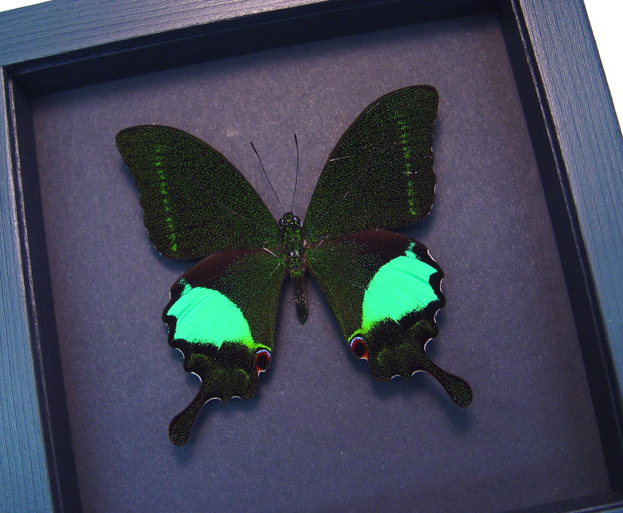 Papilio paris Peacock Swallowtail Green Butterfly Moonlight Display ooak