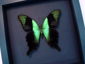 Green Swallowtail Framed Butterfly Moonlight Display ooak