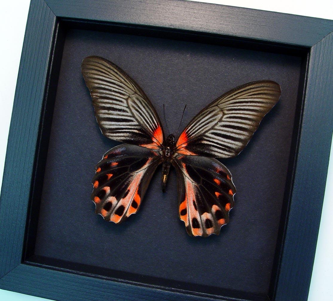 Papilio rumanzovia female Scarlet Mormon Butterfly Moonlight Display ooak