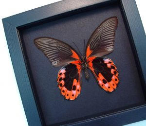Papilio rumanzovia female verso Scarlet Mormon Butterfly Moonlight Display ooak