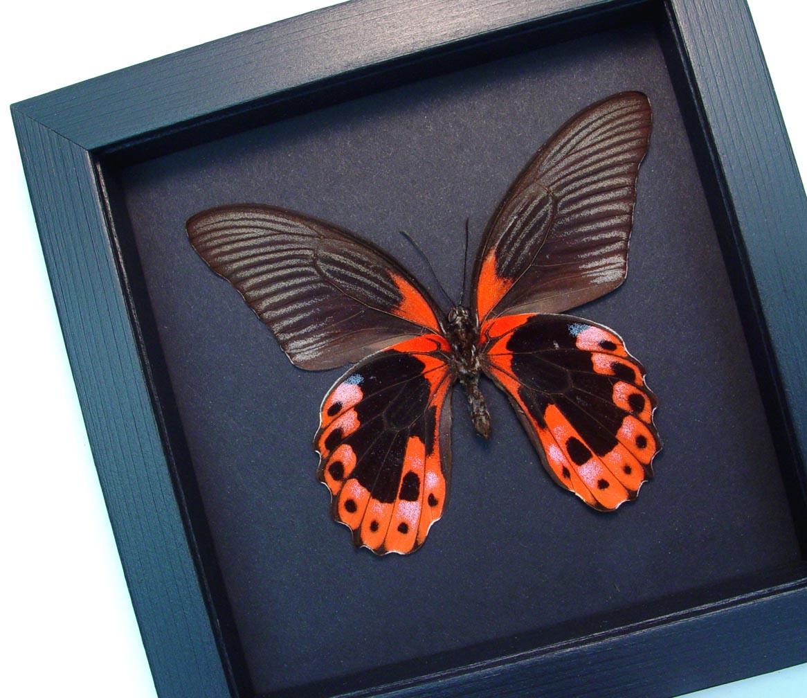 Papilio rumanzovia female verso Scarlet Mormon Butterfly Moonlight Display ooak