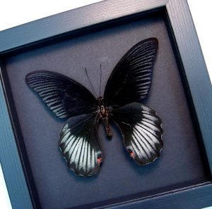 Papilio rumanzovia Scarlet Mormon Black Butterfly Moonlight Display ooak