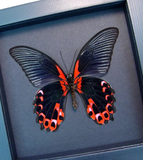 Papilio rumanzovia verso Scarlet Mormon Butterfly Moonlight Display ooak