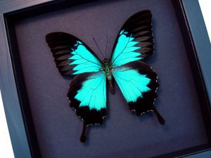 Papilio ulysses Blue Mountain Swallowtail Butterfly Moonlight Display ooak