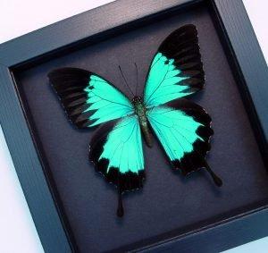 Papilio ulysses autolycus Blue Mountain Swallowtail Moonlight Display ooak