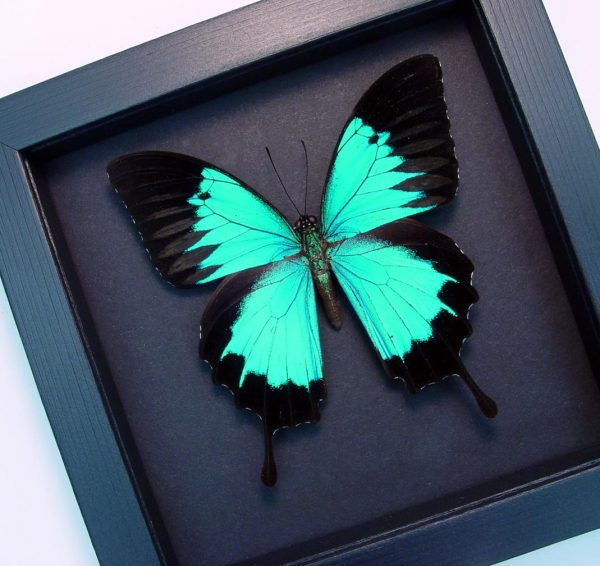 Papilio ulysses autPapilio ulysses autolycus Blue Mountain Swallowtail Moonlight Display