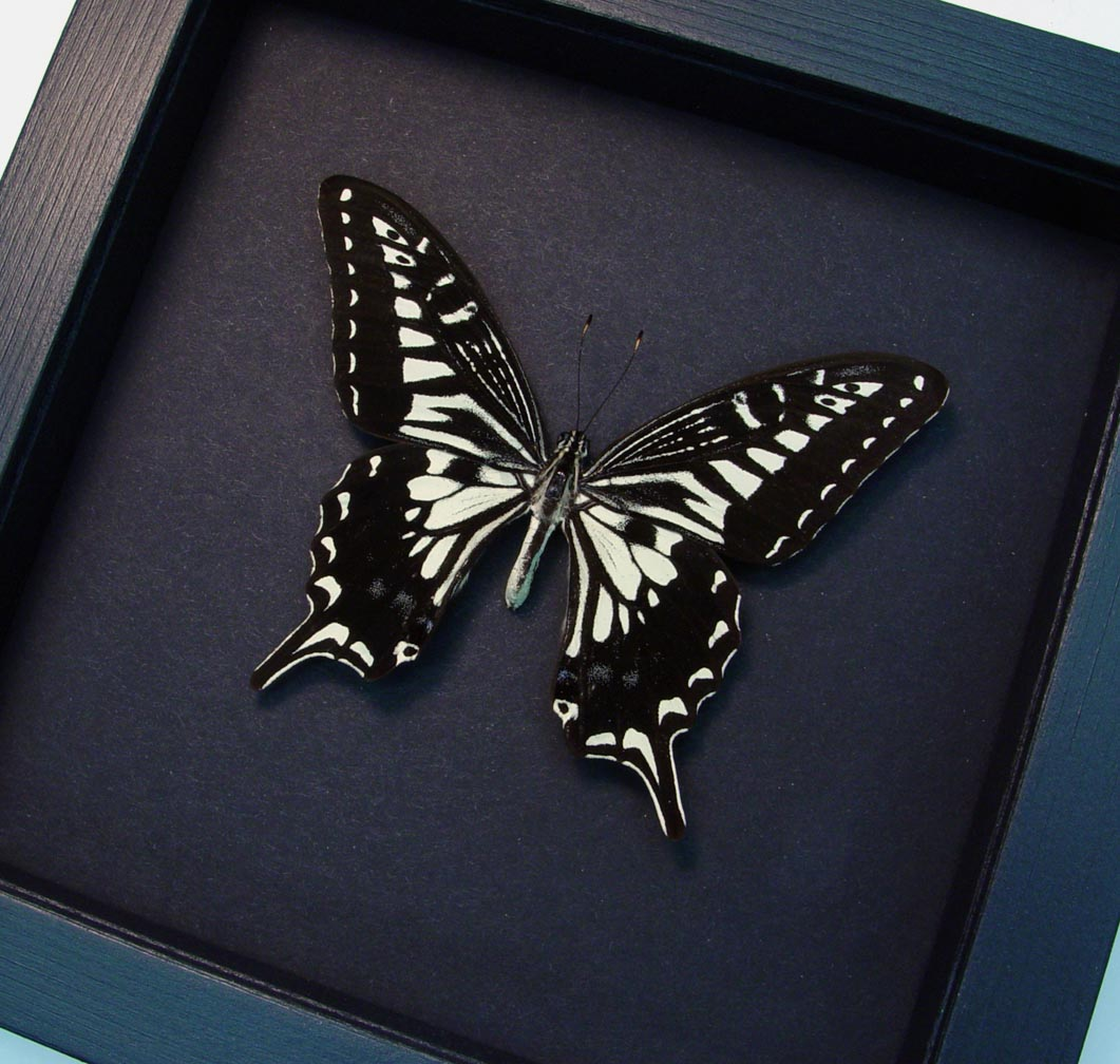 Papilio Xuthus Male Hawaii Butterfly Chinese Swallowtail Moonlight Display
