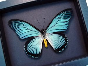 Papilio zalmoxis Blue African Birdwing Butterfly Moonlight Display ooak