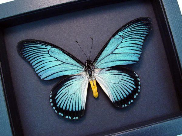 Papilio zalmoxis Blue African Birdwing Butterfly Moonlight Display