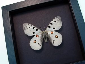 Parnassius bremeri Snow Apollo Russian Butterfly Moonlight Display ooak