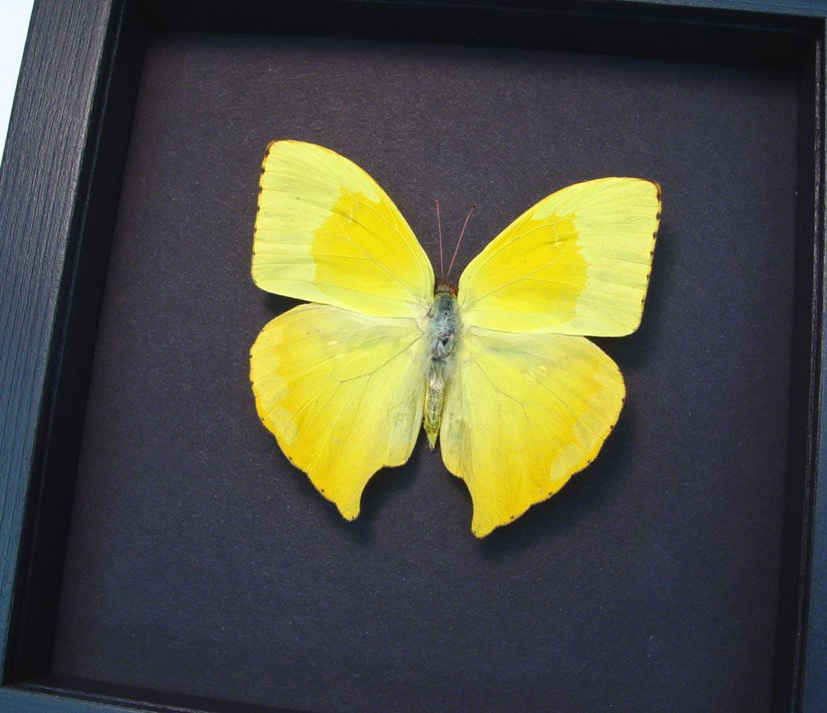 Phoebis rurina Teardrop Sulpher Yellow Butterfly Moonlight Display ooak
