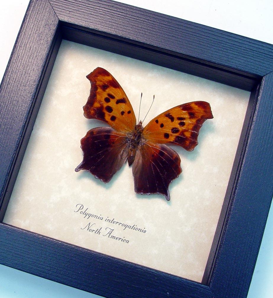 Polygonia interrogationis Female Question Mark Butterfly