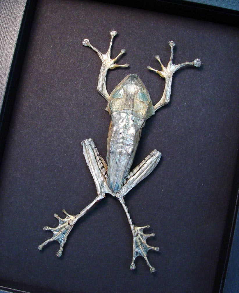 Polypedates otilophus Silver Flying Frog Moonlight Display ooak