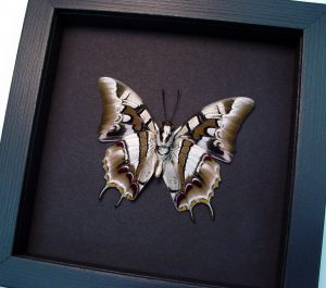 Polyura cognatus Verso Dagger Tailed Butterfly Moonlight Display ooak