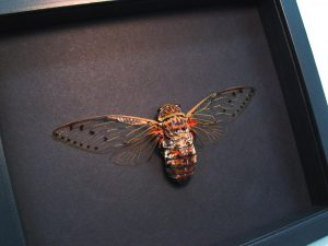 Pomponia intermedia Giant Clear Winged Cicada Moonlight Display ooak