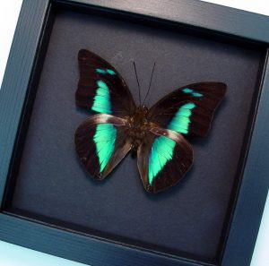 Prepona meander amphimacus Rainforest Reflector Butterfly Moonlight Display ooak