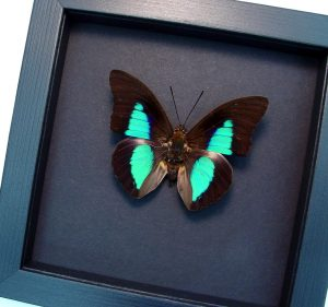 Prepona species Rainforest Reflector Butterfly Moonlight Display ooak