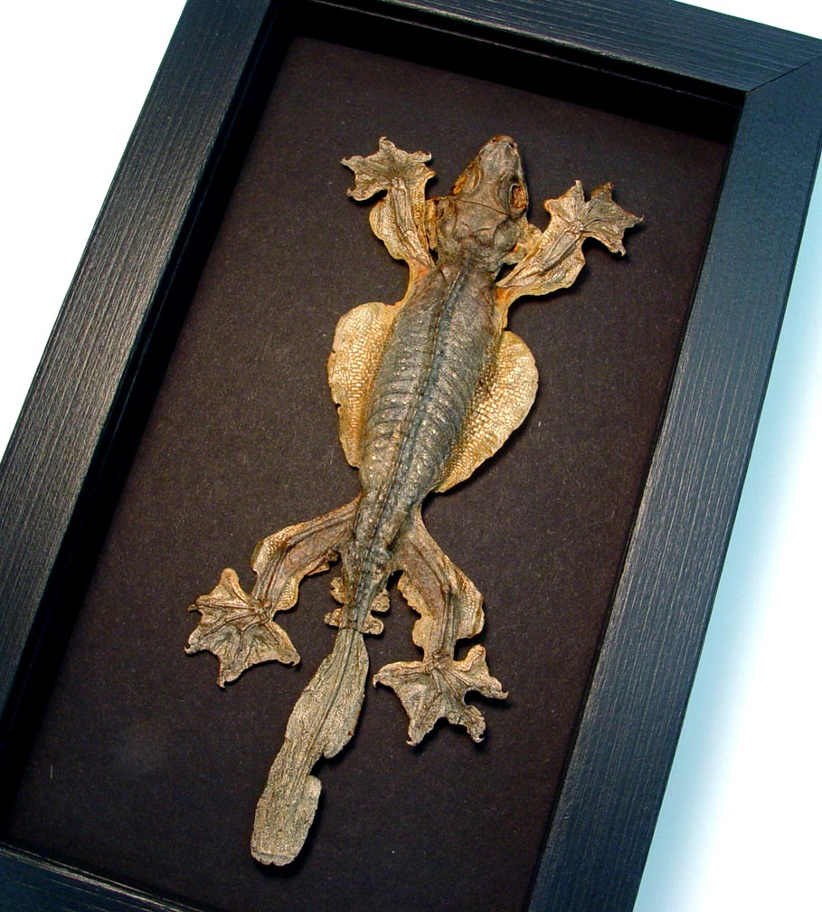 Ptychozoon kuhli flying gecko Lizard Moonlight Display ooak