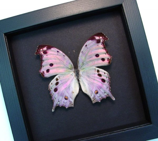 Mother's Day Butterfly Mother Of Pearl Butterfly Moonlight Display