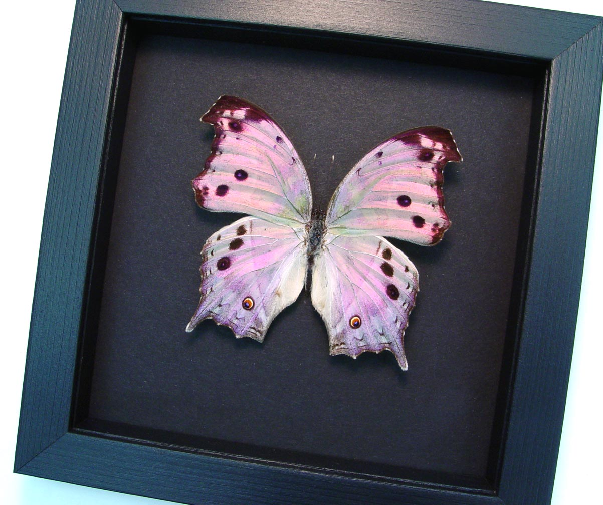 Salamis parhassus Mother Of Pearl Butterfly Moonlight Display ooak