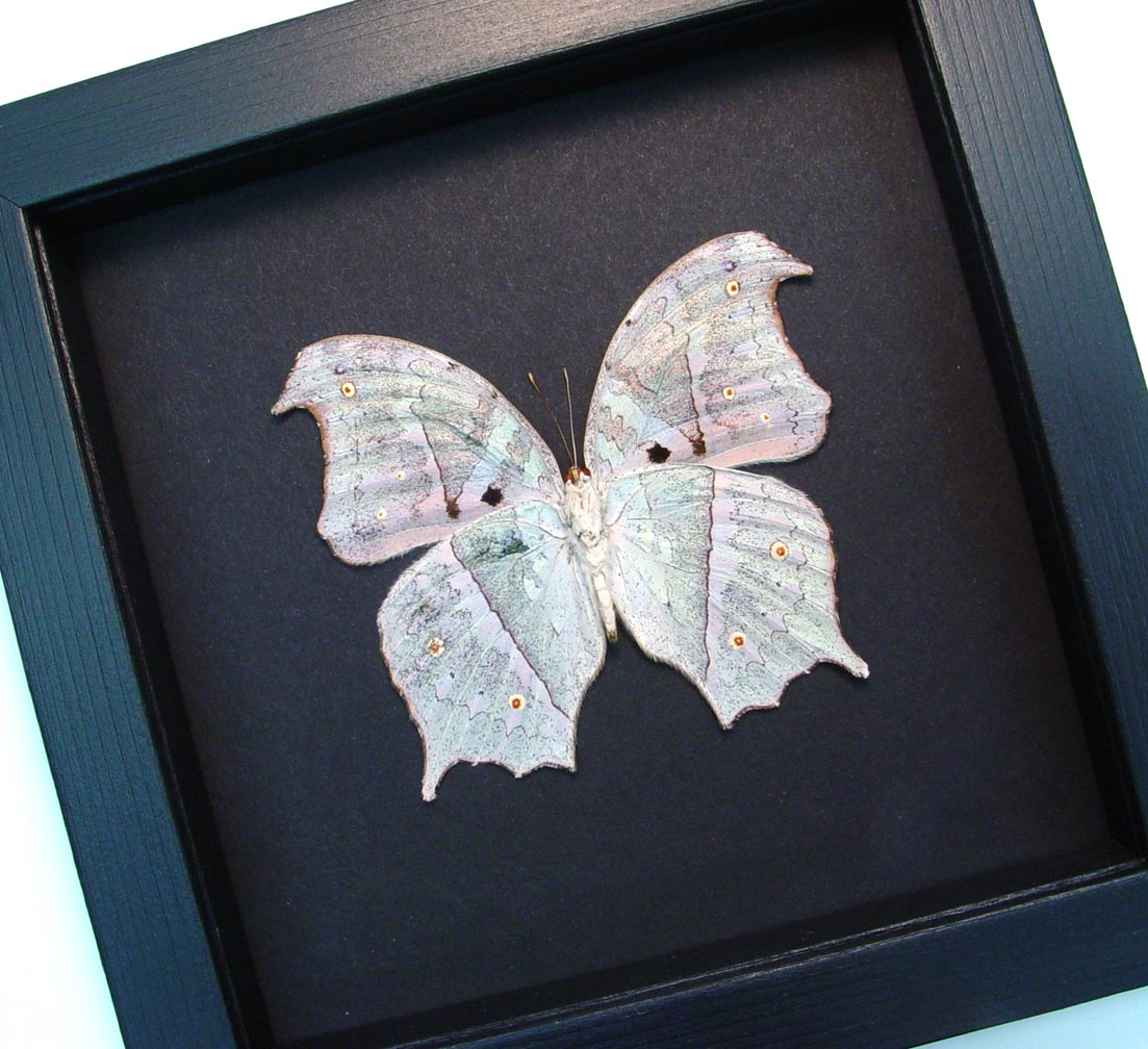 Salamis parhassus Verso White Ghost Butterfly Moonlight Display ooak