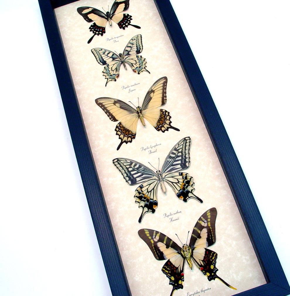 Framed Butterflies Tiger Swallowtail Butterfly Collection ooak