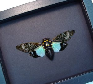 Tosena splendida Blue Cicada Moonlight Display ooak