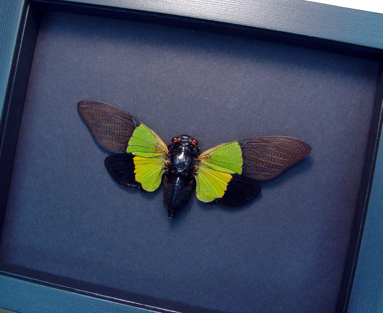 Trengganua sybylla bright Green Cicada Moonlight Display ooak