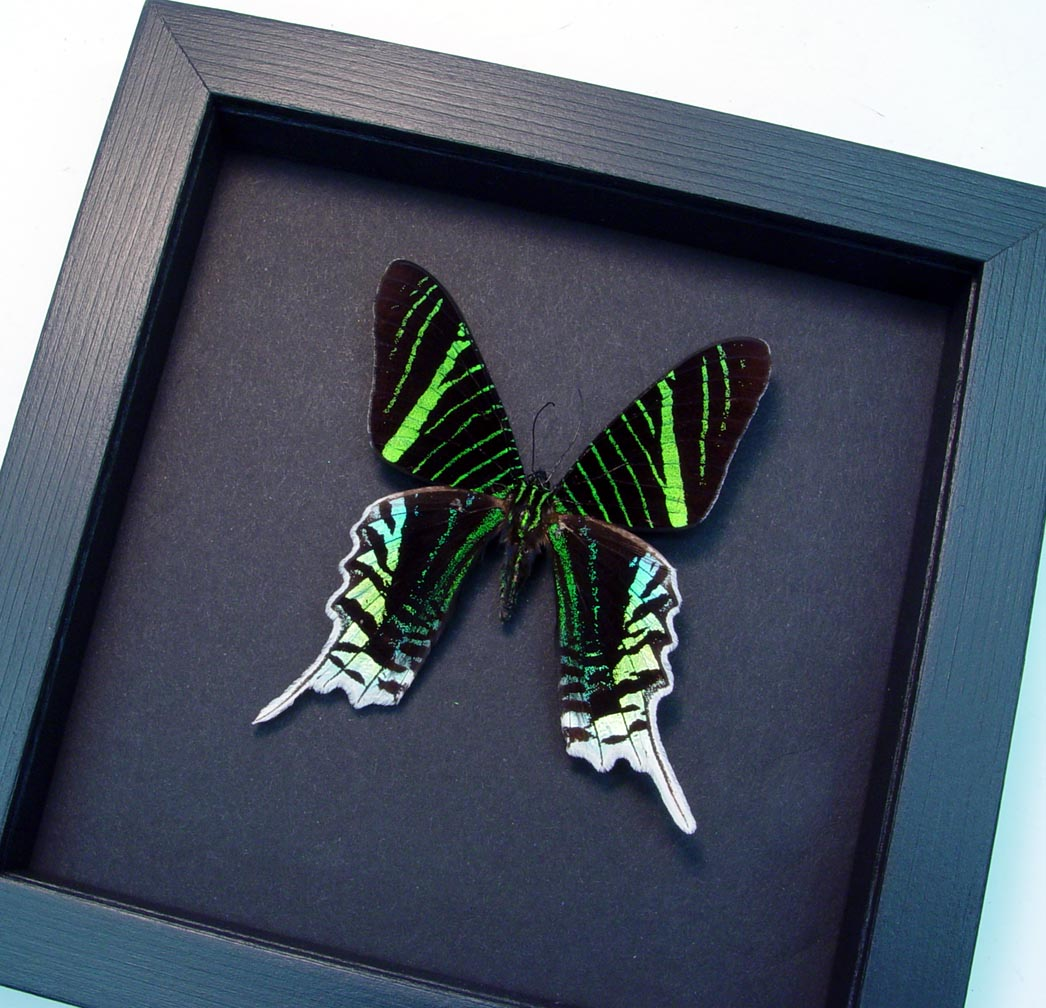 Urania Leilus Green Banded Urania Moth Moonlight Display ooak
