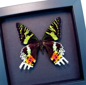 Sunset Moth Female Madagascar Moth Moonlight Display ooak