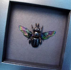 Xylocopa latipes Female Rainbow Bee Moonlight Display ooak