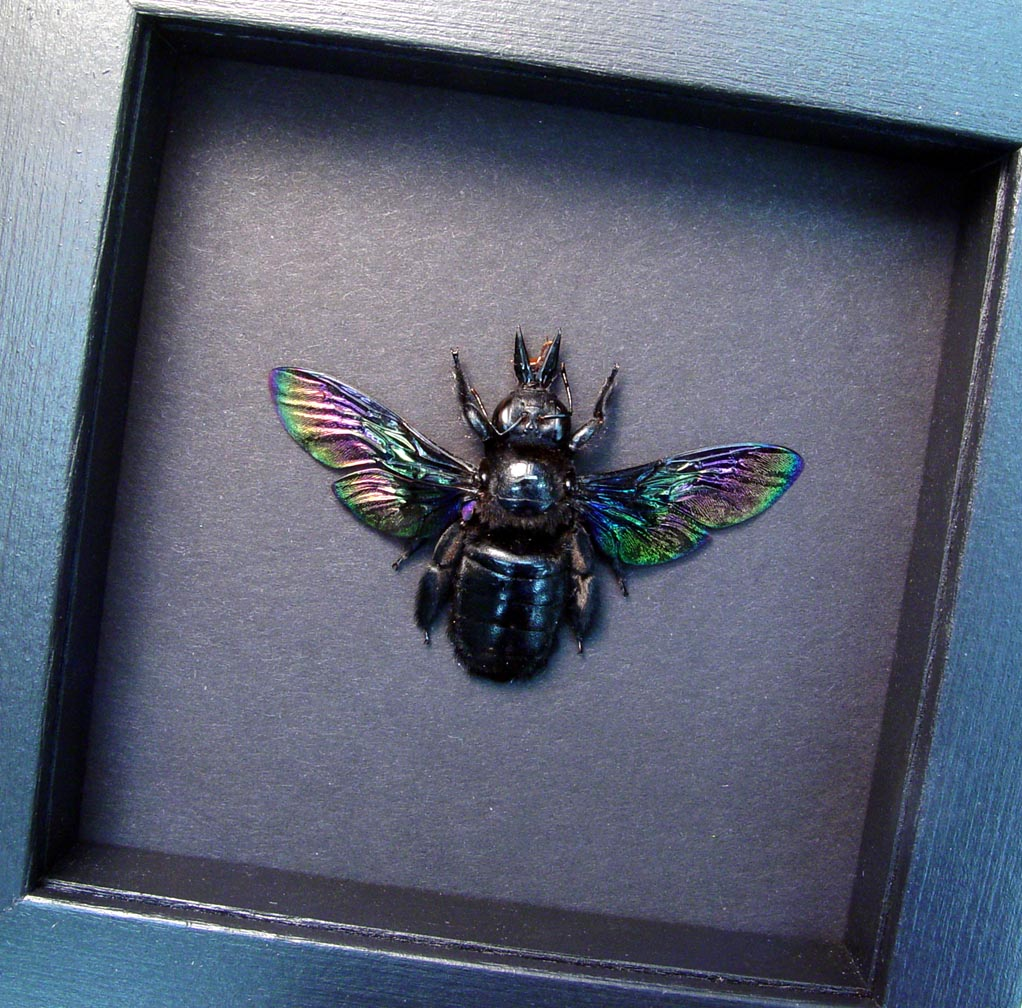 Xylocopa latipes Female Rainbow Bee Moonlight Display