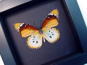 Danaus chrysippus alcippus African Monarch Butterfly Moonlight Display ooak