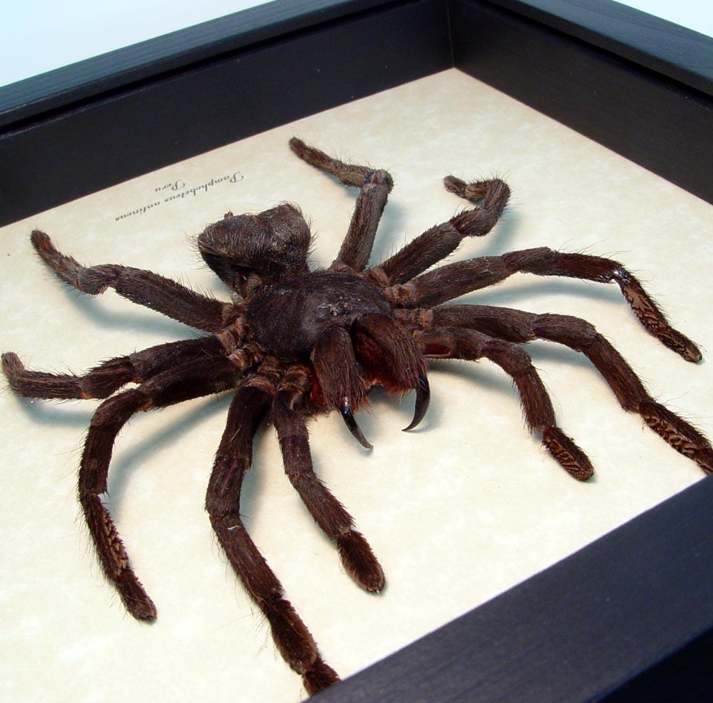 Bolivian Blue leg Framed Tarantula Spider ooak