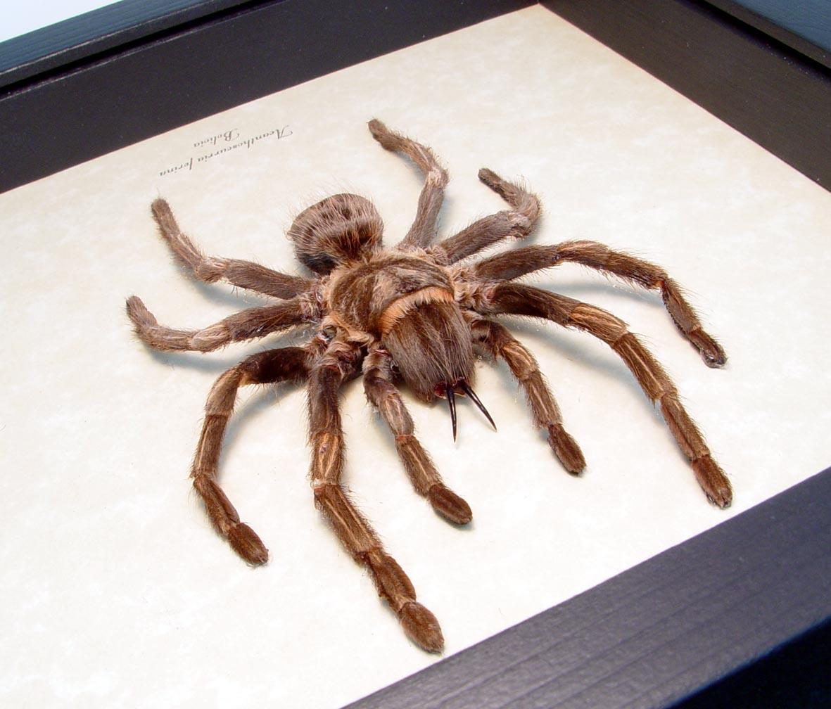 Brazilian whiteknee Tarantula Framed Spider ooak
