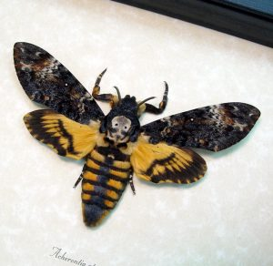 Acherontia atropos Female Death's Head Moth ooak