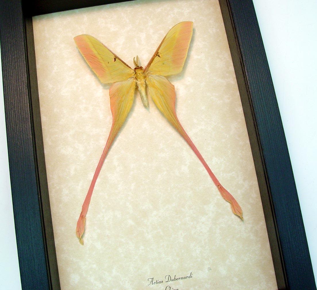 Actias dubernardi Chinese Moon Moth