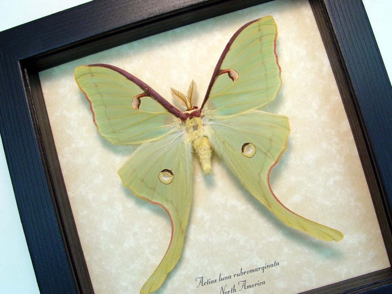 Framed Luna Moth Actias luna rubromarginata Male display ooak