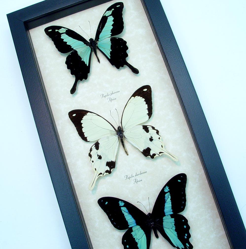 Framed Butterflies African Swallowtail Butterfly Collection ooak