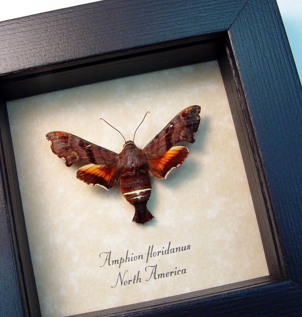 Amphion floridanus Nessus Sphinx Framed moth ooak