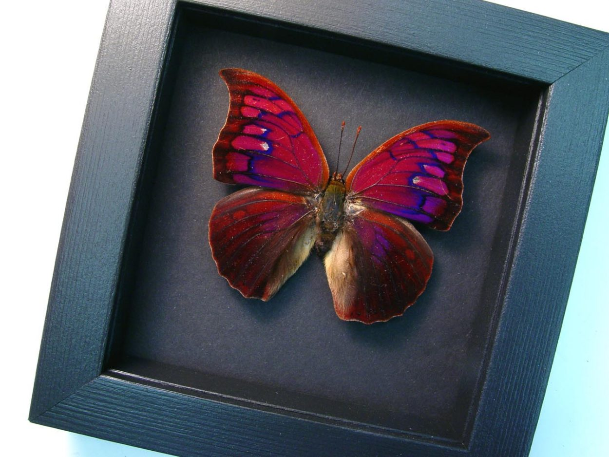 Anaea Tyrianthina Male Purple Butterfly Moonlight Display ooak
