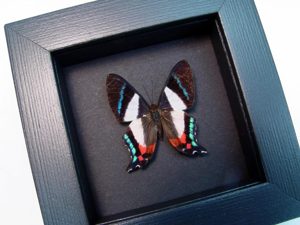 Ancyluris formosissima Frilled Majestic Butterfly Moonlight Display ooak