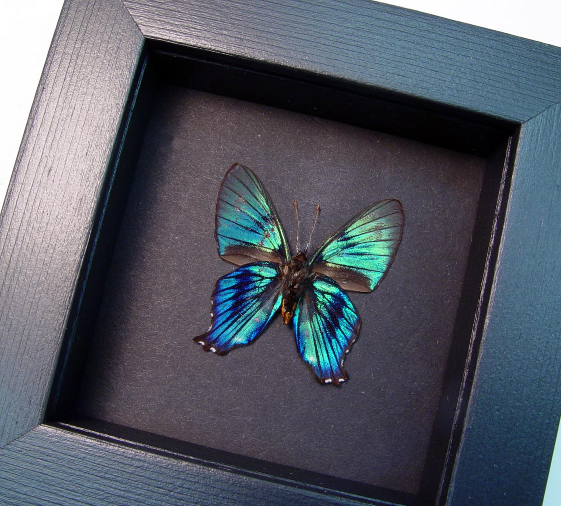 Ancyluris inca miranda Metallic Blue Butterfly Moonlight Display ooak