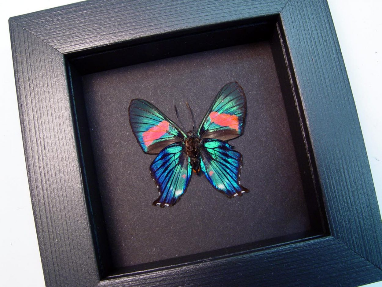 Ancyluris inca miranda Metallic Blue Pink Butterfly Moonlight Display ooak