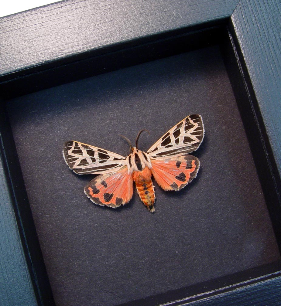 Virgin Tiger Moth Apantesis virgo Moonlight Display