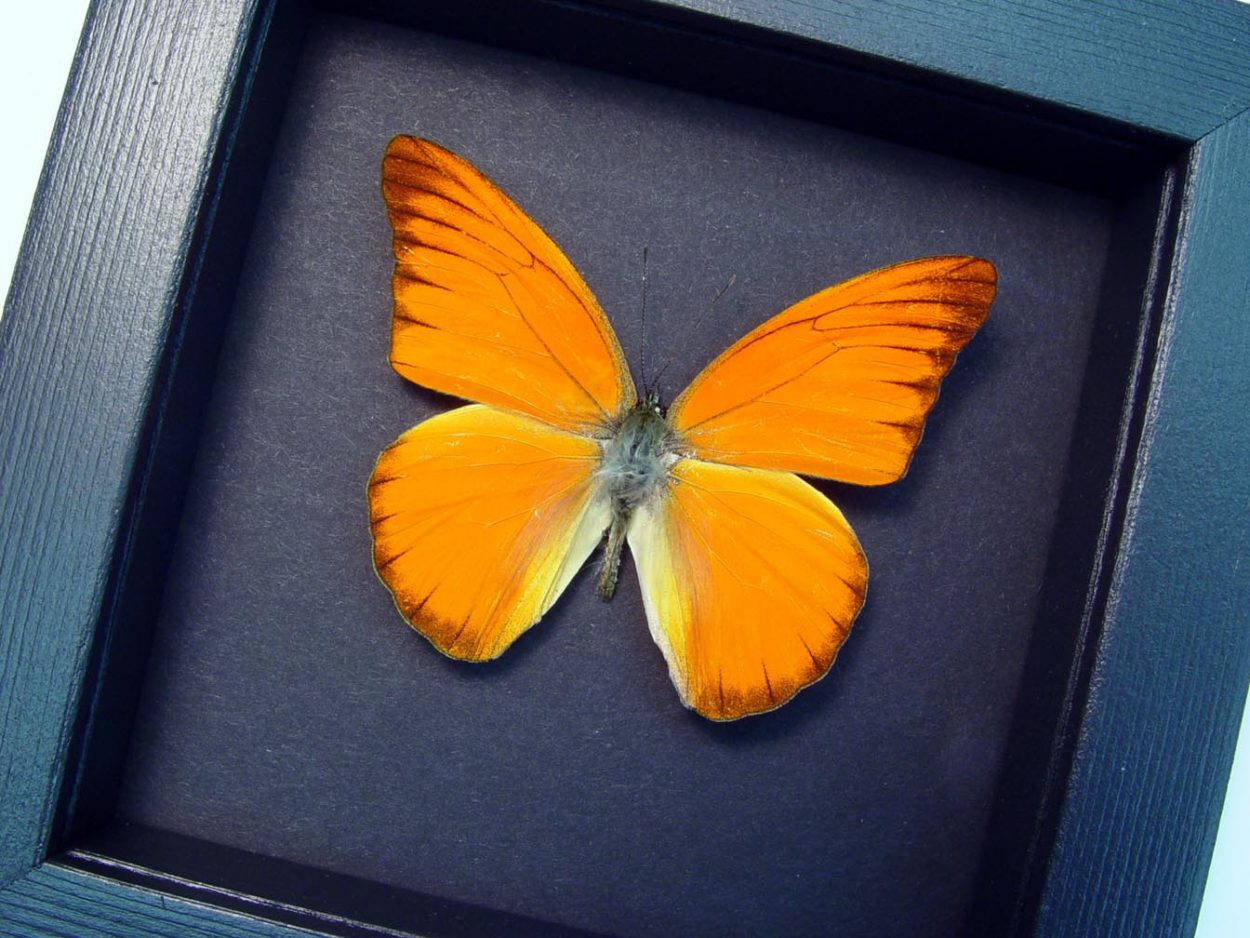 Appias nero Orange Albatross Butterfly Moonlight Display ooak