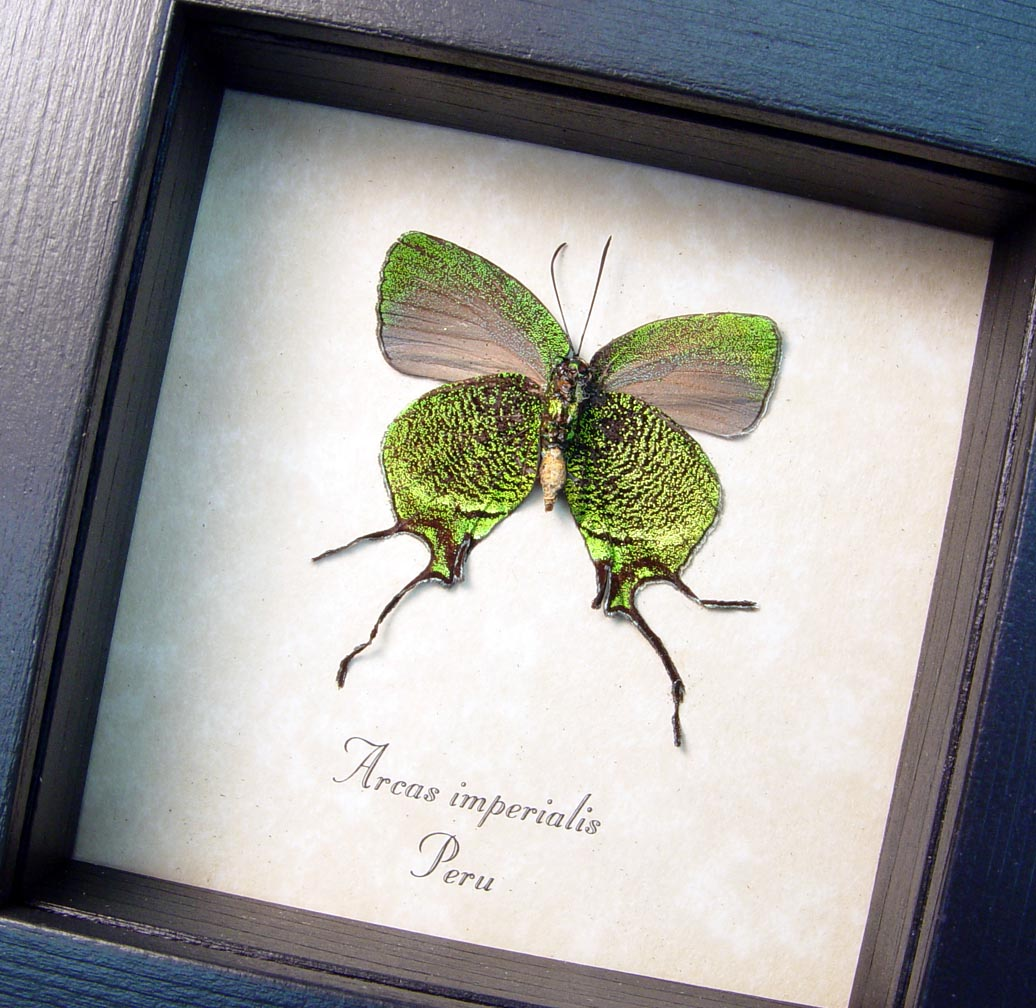 Framed Butterfly Green Swallowtail Arcas imperialis ooak